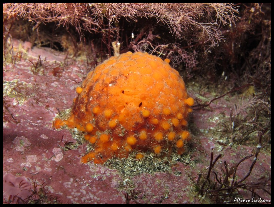 Med gallery - Arancia di mare, Tethya aurantium (3)_wm