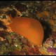 Bertella arancio, Bertella aurantiaca (1)_wm