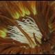 Cerianto, Cerianthus membranaceus (4)_wm