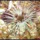Cerianto, Cerianthus membranaceus_wm