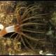 Cerianto ragno, Arachnanthus oligopodus (2)_wm