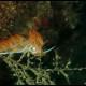Dondice, Dondice banyulensis (1)_wm