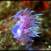 Med gallery - Flabellina lilla, Flabellina affinis (21)_wm