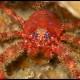 Galatea rossa, Galathea strigosa_wm