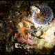 Gambero meccanico, Stenopus spinosus_wm