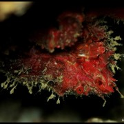 Med gallery - Granchio delle grotte, Herbstia condyliata (3)_wm