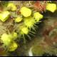 Madrepora gialla coloniale, Cladopsammia rolandi (1)_wm