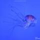 Medusa bande scure, Chrysaora hysoscella