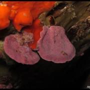 Med gallery - Mesofillo espanso, Lithophyllum stictaeforme_wm