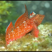 Med gallery - Peperoncino rosso, Tripterygion tripteronotus_wm