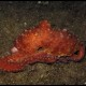 Polpessa, Octopus macropus (1)_wm