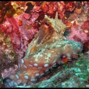 Med gallery - Polpo, Octopus vulgaris (4)_wm