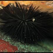 Med gallery - Riccio edule, Paracentrotus lividus (2)_wm