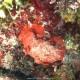 Rosa di mare squamata, Peyssonnelia squamaria