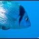 Sarago fasciato, Diplodus vulgaris_wm