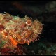 Scorfano rosso, Scorpaena scrofa (4)_wm