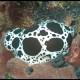 Vacchetta di mare, Discodoris atromaculata_wm