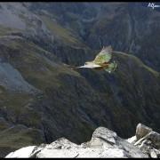 NZ wildlife gallery - Kea, Nestor notabilis (2)_wm