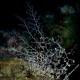 Stella gorgone, Astrospartus mediterraneus (1)_wm